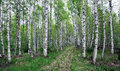 Swedish birch forest with small path in sweden Stock Photography