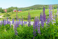 Swedish rural summer landscape beautiful with wild lupine flowers country road and farmhouse in background Stock Photo