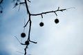 Sweegum silhouette of sweetgum balls hanging on a tree branch with a view to the sky Stock Photo