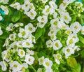 Sweet Alyssum flowers Royalty Free Stock Photo