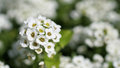 Sweet alyssum Royalty Free Stock Photo