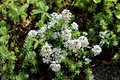 Sweet alyssum or Lobularia maritima low growing annual flowering plants with very branched stems containing dense clusters of Royalty Free Stock Photo