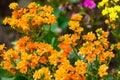 Sweet Alyssum (Lobularia maritima). Royalty Free Stock Photo