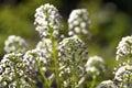 Sweet Alyssum (Lobularia maritima) Royalty Free Stock Photo