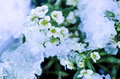 Sweet alyssum in the snow Royalty Free Stock Photo