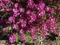 Sweet alyssum, Sweet alison, Lobularia maritima Royalty Free Stock Photo