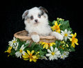 A sweet australian shepherd puppy very pretty sitting in basket with daisies all around her on black background Stock Photography