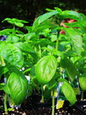 Sweet Basil Royalty Free Stock Photo