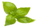 Sweet basil leaves Royalty Free Stock Photo