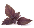 Sweet basil leaves Royalty Free Stock Photo