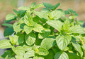 Sweet basil plant in the farm Stock Photography