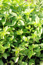 Sweet basil plants Royalty Free Stock Image