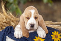 Sweet Basset hound puppy with sad eyes sitting in a basket on th Royalty Free Stock Photo