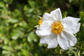 Sweet Briar Rose flower in white blossoming in the garden with b