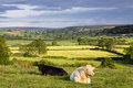 Sweet charolais wild slack farm view to eskdale north yorkshire moor these are the bull and his mate snoozing at sunup on the Royalty Free Stock Image
