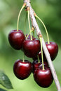 Sweet Cherries 2 Stock Photography