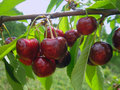 Sweet cherries on green branches in a garden Royalty Free Stock Photo
