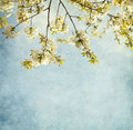 Sweet cherry blossom. Royalty Free Stock Photos