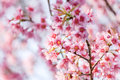 Sweet Cherry blossom Royalty Free Stock Photo