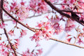 Sweet Cherry blossom Stock Image