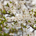 Sweet cherry (Prunus avium) Royalty Free Stock Image