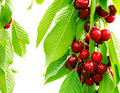 Sweet cherry red berries on a tree branch close up. Royalty Free Stock Photo