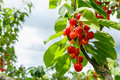 Sweet cherry red berries on a tree branch Royalty Free Stock Photo