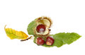 Sweet chestnut castanea sativa nuts husk and leaves isolated against white Stock Images