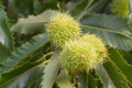 Sweet chestnut fruit of the castanea sativa tree Stock Image