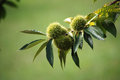 Sweet chestnut husks Royalty Free Stock Photo