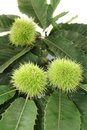 Sweet chestnut leaves and fruits of Stock Images