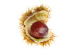 Sweet chestnut ripe in a seed a prickly seed pod isolated against white Stock Image