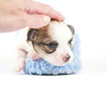 Sweet Chihuahua  baby with caressing hand Stock Photography