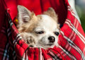 Sweet chihuahua dog inside red checkered bag for pet carrier close up outdoor shot Stock Photography