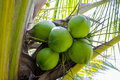 Sweet coconut on tree image of leaves Stock Image