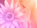 Sweet color water lily for background Royalty Free Stock Photo
