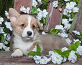 Sweet Corgi Puppy Stock Photos
