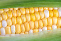 Sweet corn on the cob green husk is partially removed to reveal yellow and white bi color Stock Photo