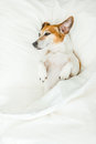 Sweet dreams adorable dog lying on white bed sheets. Royalty Free Stock Photo