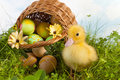 Sweet duckling at easter Stock Photos