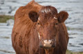 Sweet Faced Brown Cow in Ireland Royalty Free Stock Photo