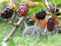 Sweet garden mulberry in the with the bicycle on the background Stock Images