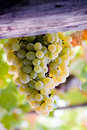 Sweet grape of zibibbo Stock Images