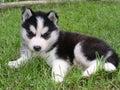 Sweet husky Stock Image