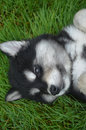 Sweet Husky Puppy Laying on His Back in Grass