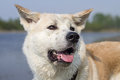 Sweet Japanese Akita Inu dog with an open mouth on the river`s beach in the summer with a stained face on a tree background. Royalty Free Stock Photo