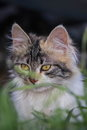 Sweet kitty behind grass Royalty Free Stock Photo