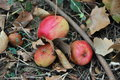 Sweet little apples windfall on the ground with dry autumn leaves Stock Images