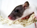 A sweet little baby rat Royalty Free Stock Images