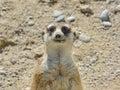Sweet Meerkat In Nature